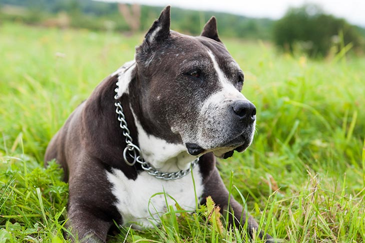 Senior American Staffordshire Terrier laying in the grass.