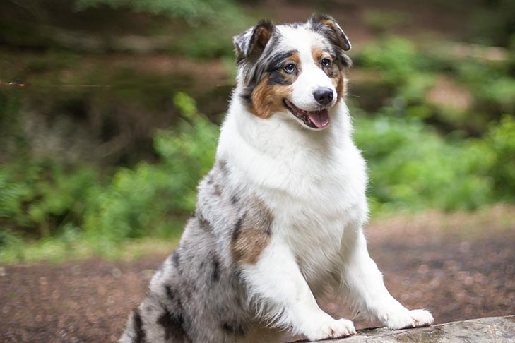 Australian Shepherd standing on a log in the forest.