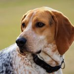 American English Coonhound head portrait outdoors.