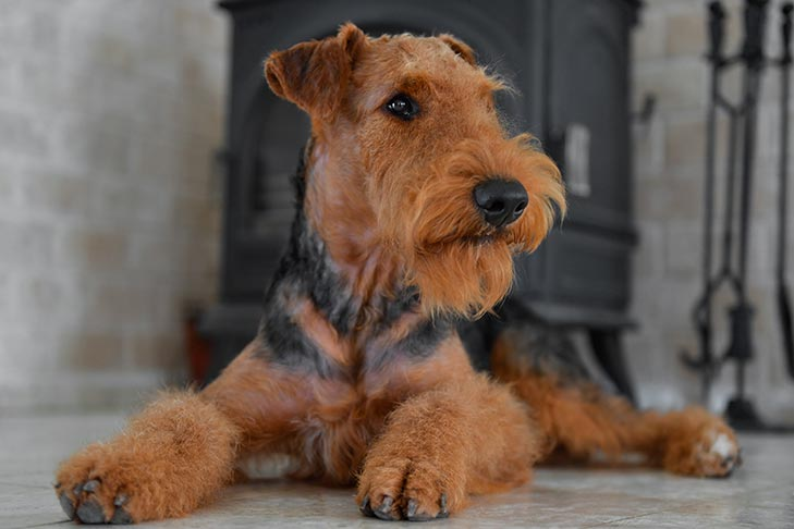 Airedale Terrier laying indoors.