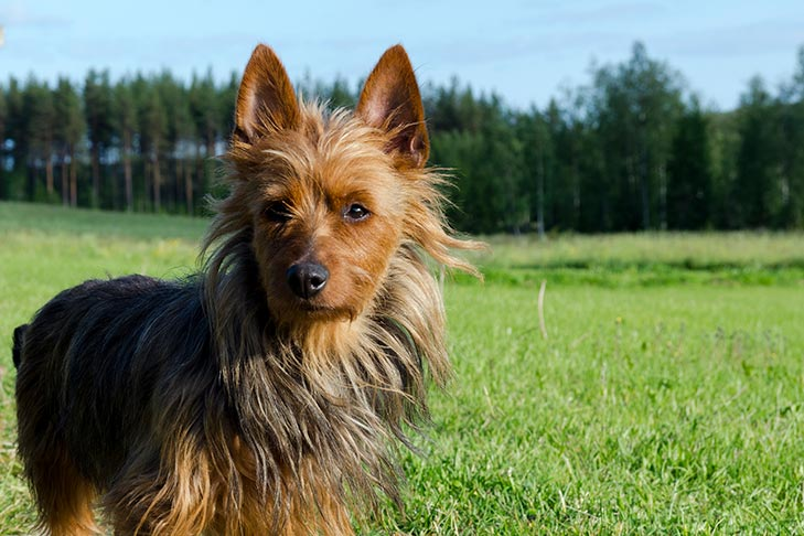 Australian Terrier standing in a field outdoors.