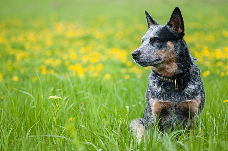 Australian Cattle Dog sitting in a meadow.