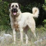 Anatolian Shepherd Dog standing outdoors.