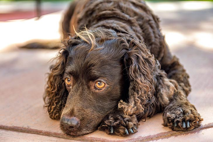 American Water Spaniel laying down outdoors.