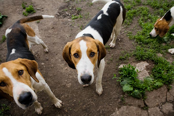 Pair of American Foxhounds standing outdoors looking up at the viewer.
