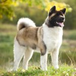 Akita standing in the sunshine.