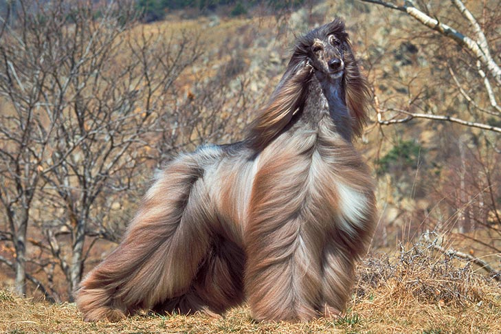 Afghan Hound standing in the wind outdoors.