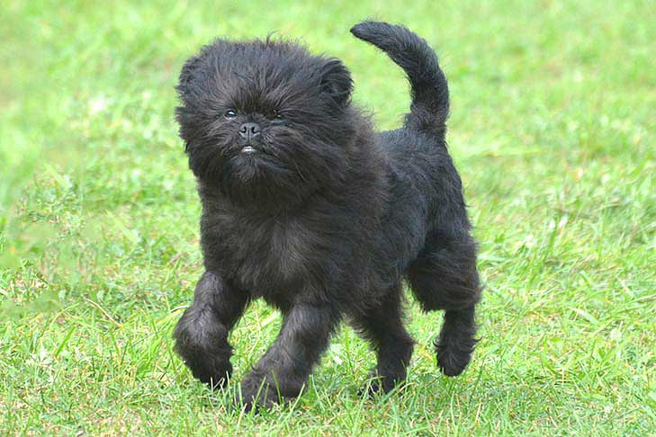 Affenpinscher running outdoors.
