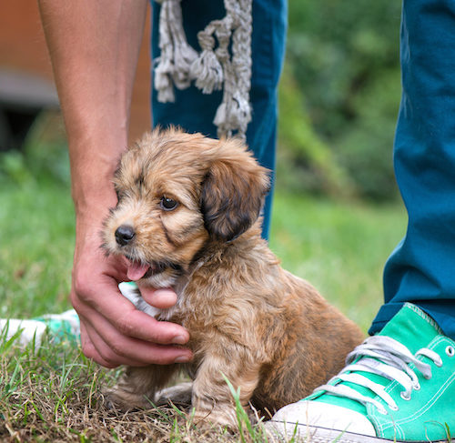 Puppy Training Timeline Teaching Good Behavior Before It S Too Late