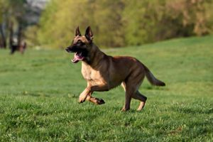 Belgian Malinois running in a field.