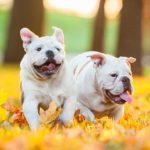 Bulldogs running outdoors.