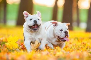 Bulldogs running outdoors.
