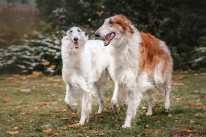 Borzoi running and playing in the yard.