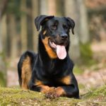 Beauceron laying down in the forest.