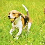 Beagles playing fetch.