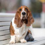 Basset Hound sitting on a park bench.