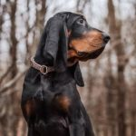 Black and Tan Coonhound sitting in the forest in the fall.