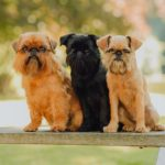 Brussels Griffons sitting on a bench side by side outdoors.