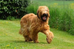 Briard running in a grassy field.