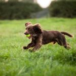 Boykin Spaniel running through the grass with a ball.