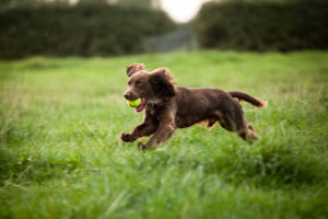 Boykin Spaniel running through the grass with a ball.