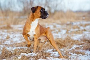 Boxer standing outdoors in the winter.