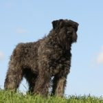 Bouvier des Flandres standing atop a hill.