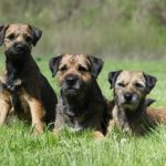 Border Terrier laying next to two puppies.