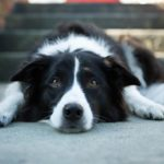 Border Collie lying on a sidewalk outdoors.