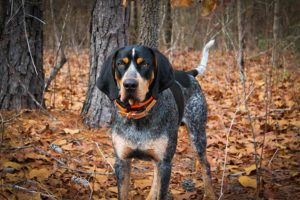 Bluetick Coonhound standing in the woods in the fall.