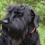 Black Russian Terrier head portrait outdoors.