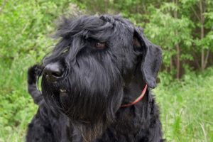 Black Russian Terrier head portrait outdoors.