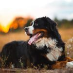 Bernese Mountain Dog laying outdoors in a field.