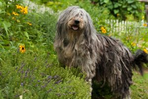 Bergamasco standing in the garden.