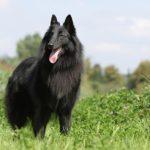 Belgian Sheepdog standing in a field.