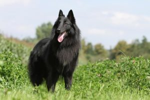 Belgian Sheepdog standing in a field.