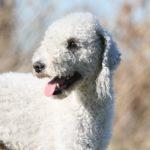 Bedlington Terrier head portrait outdoors.