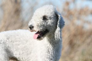 Bedlington Terrier head portrait outdoors.