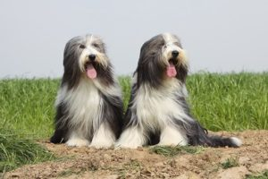 Bearded Collies sitting outdoors.