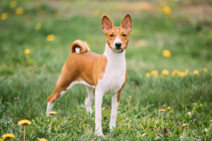 Basenji standing in the grass.