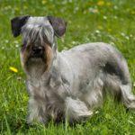 Cesky Terrier standing in a field.