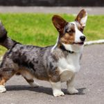 Cardigan Welsh Corgi standing on a path outdoors.