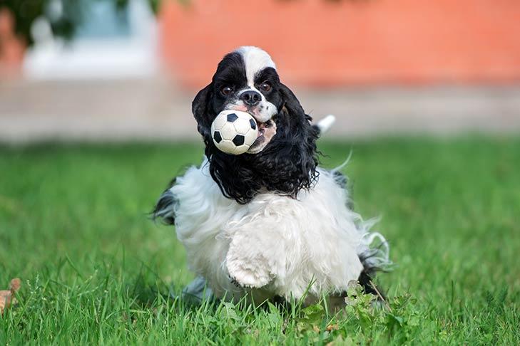 Cocker Spaniel fetching a ball in the yard.