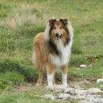 Collie standing in a large pasture.
