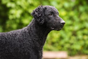 Curly Coated Retriever head profile outdoors.