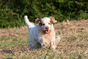 Clumber Spaniel running in a field.