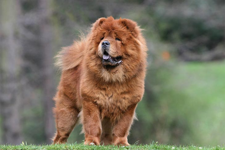 Chow Chow standing outdoors in three-quarter view.
