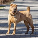 Chinese Shar-Pei standing on the sidewalk.