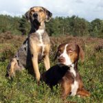 Two Catahoula Leopard Dogs together outdoors in a field.