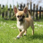 Chihuahua walking in the backyard.